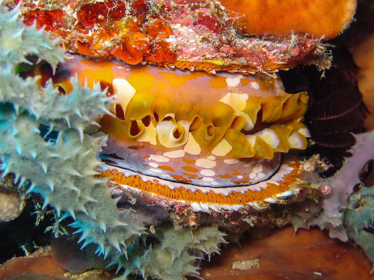 Filter feeding thorny oyster  Spondylus varians  on Atauro Island