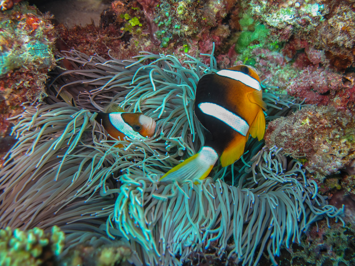 Anemonefish were common on Timor reefs