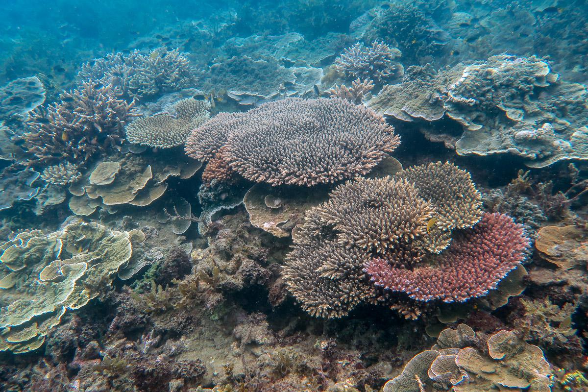Acropora  and  Montipora  corals