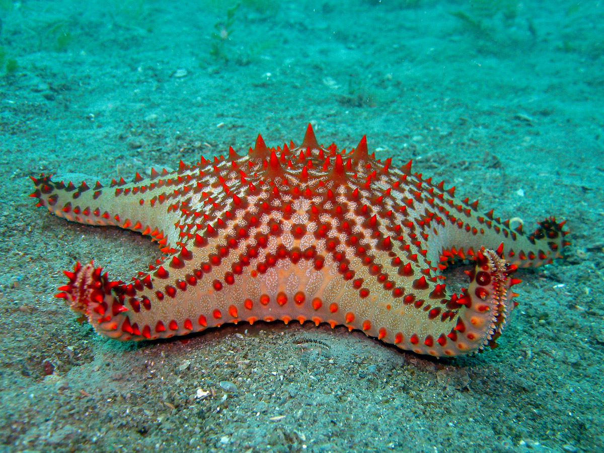 Colourful sand living sea star  Pentaster