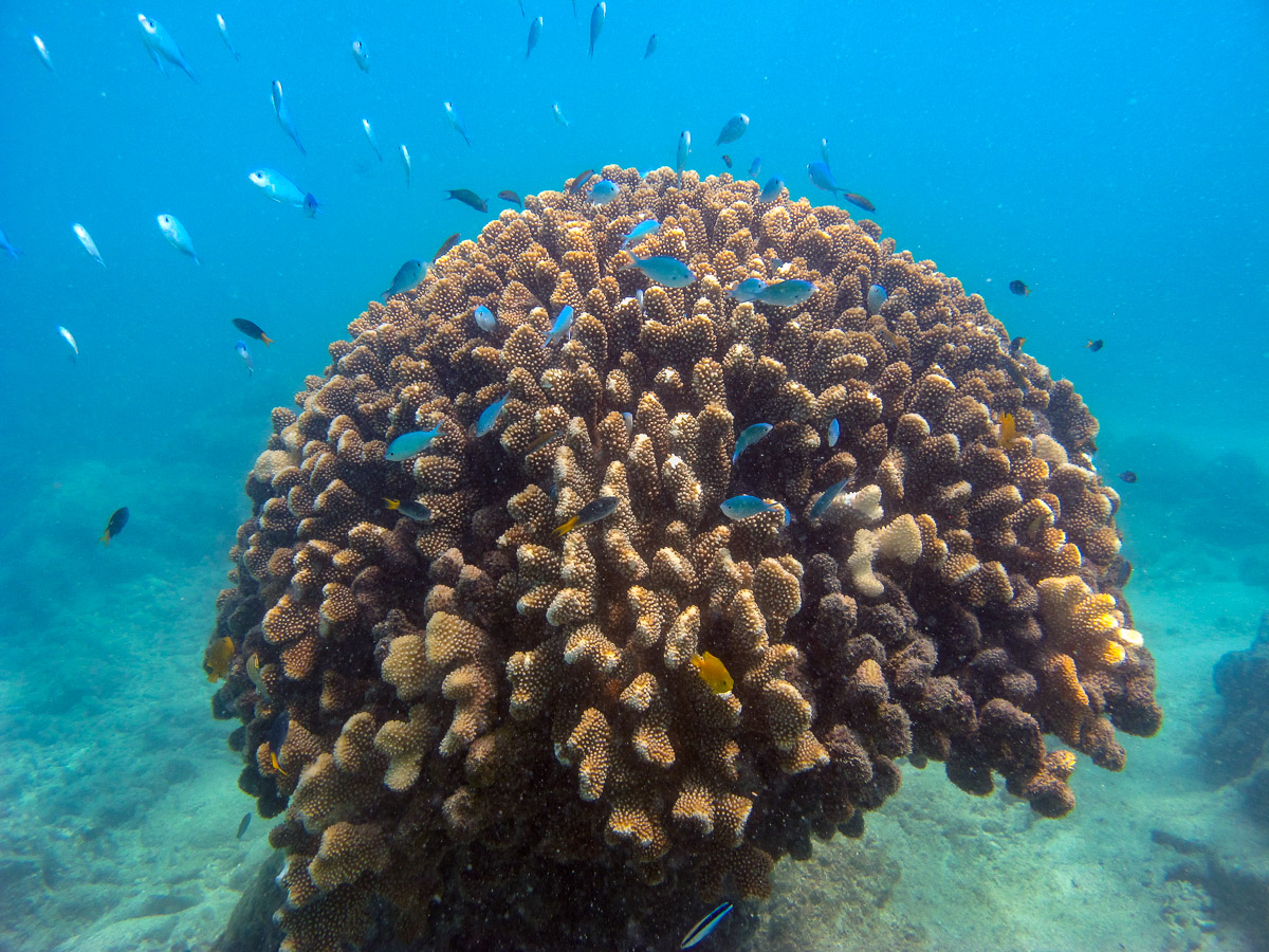 This large  Acropora  coral colony miraculously survived the cyclone even though only in a few metres of water