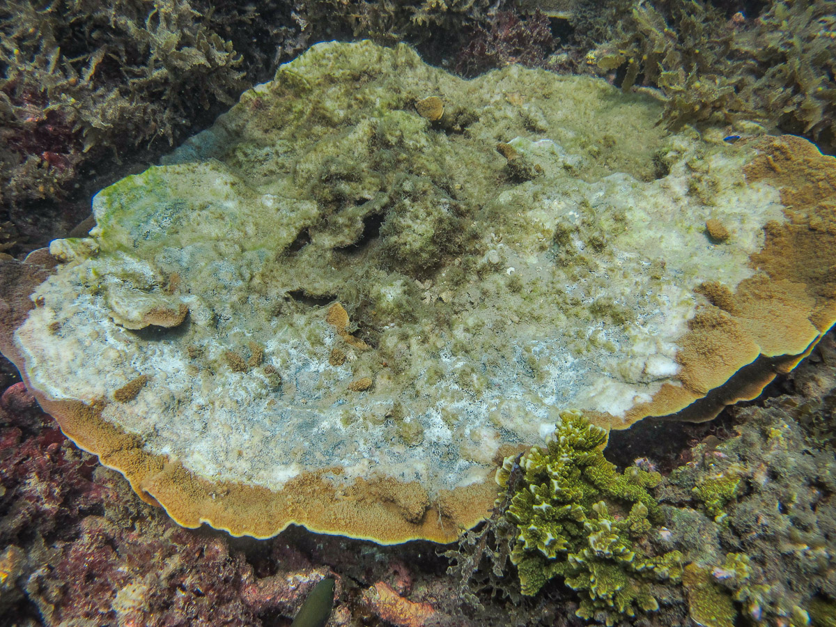 Large patch of disease on a  Montipora  coral colony