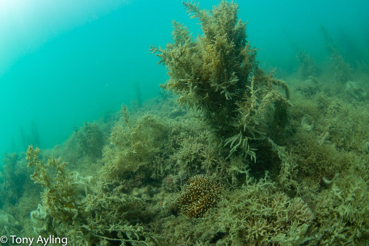 Macroalgae, including  Sargassum , on North Spit Reef