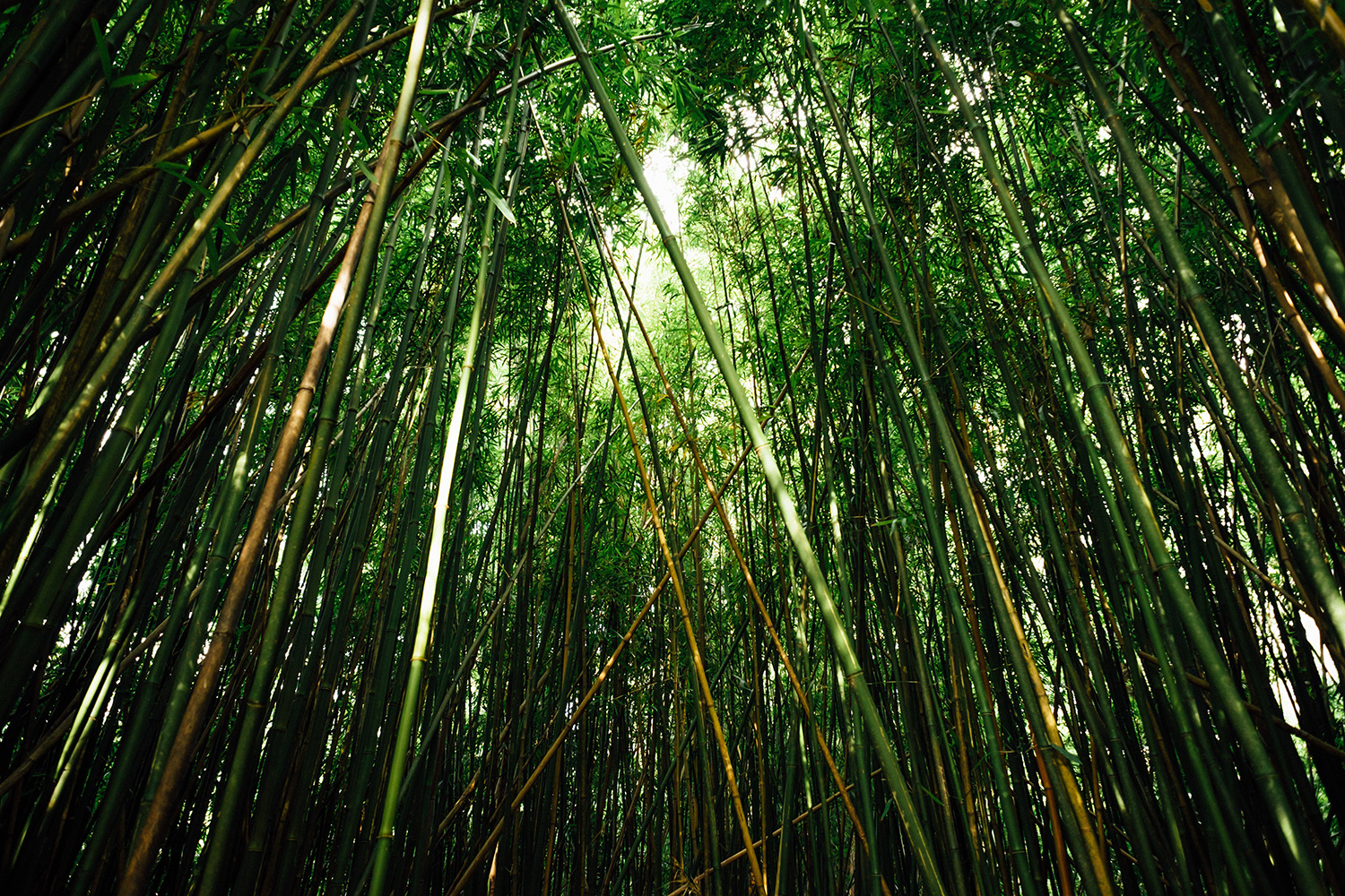a forest of green bamboo with sunlight