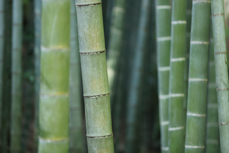 Close up of Green Bamboo