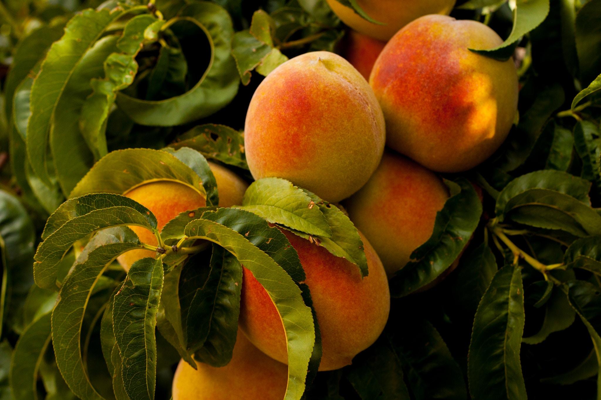 Ripe peaches on tree