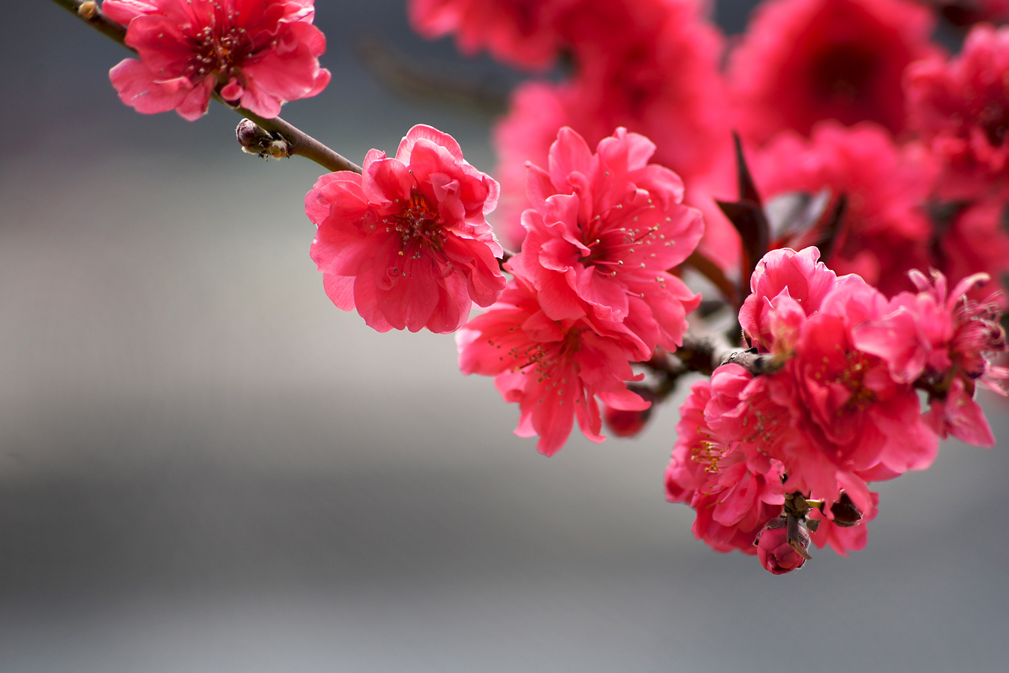 dark pink cherry blossoms on a tree