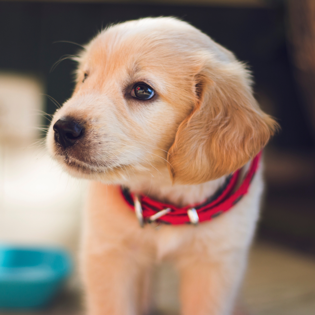 PUPPY KINDERGARTEN - FOR PUPPIES 20 WEEKS AND YOUNGER.