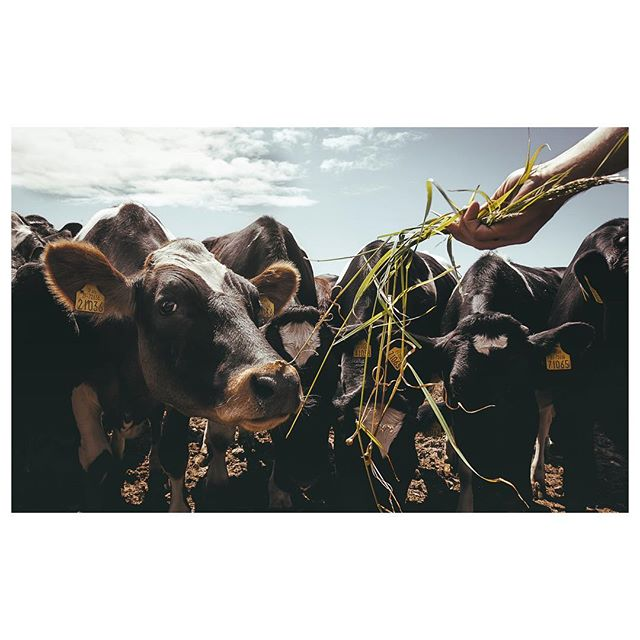 Trying to right the wrongs after our McDonalds misadventures in Asia... | 20.06 . . . . #twobiketo #welovecows #irishcows #cowlovers #cowlove #farmlife #spreadthelove #ireland_gram #animallovers #cowlife #moodygrams #ig_countryside #depthoffield #aperturepro #farming #verybusymag #photojournalism #somewheremag #rentalmag #happycow #optoutside #animal_captures #animals_in_world #splendid_animals #animals_captures #keepitwild