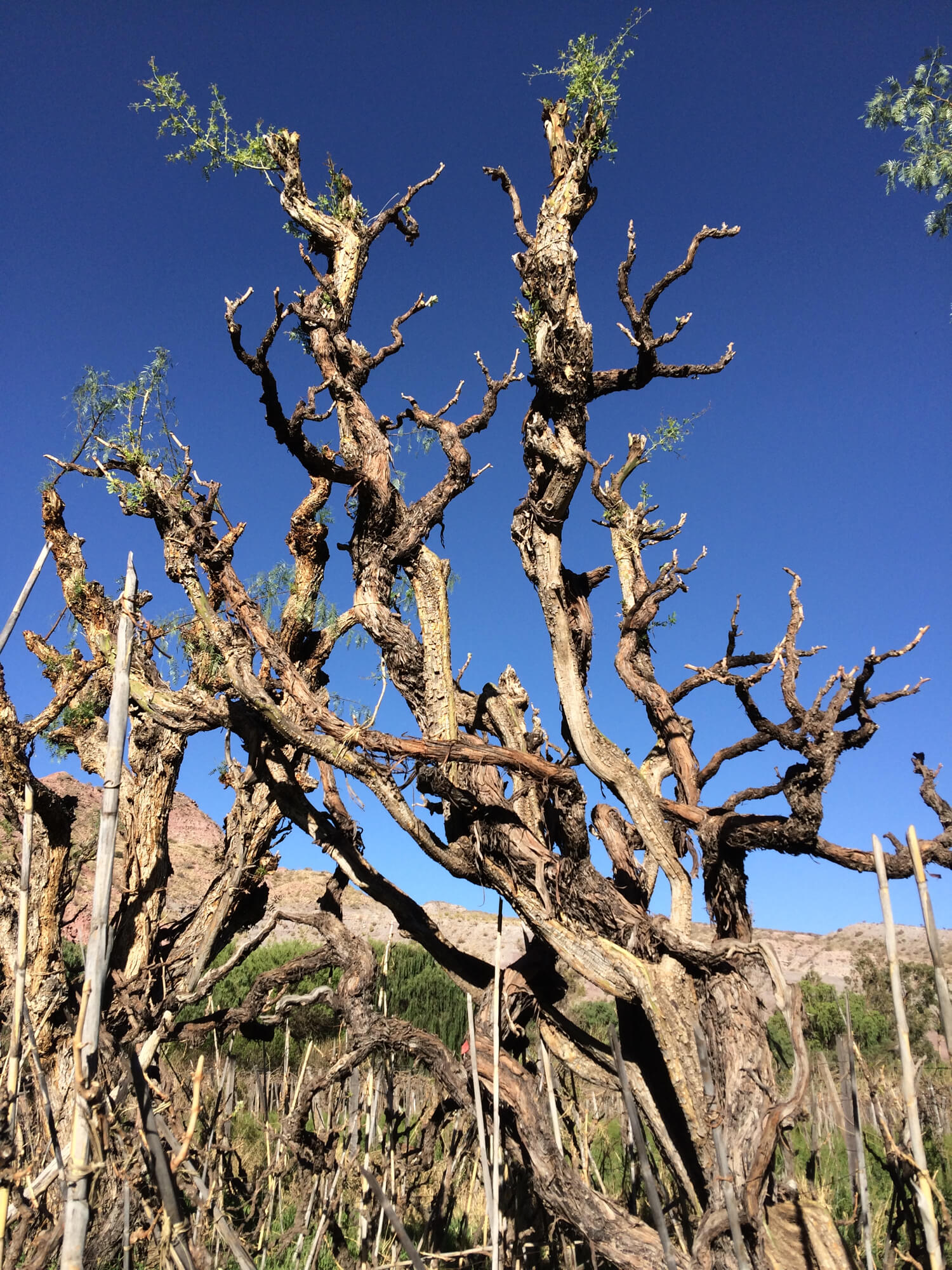 A 200 year old Muscat of Alexandria vine trained up a Molle Tree in the Cinti Valley at the end of the winter season. The vine has grown so thick that it can be difficult to distinguish the two.