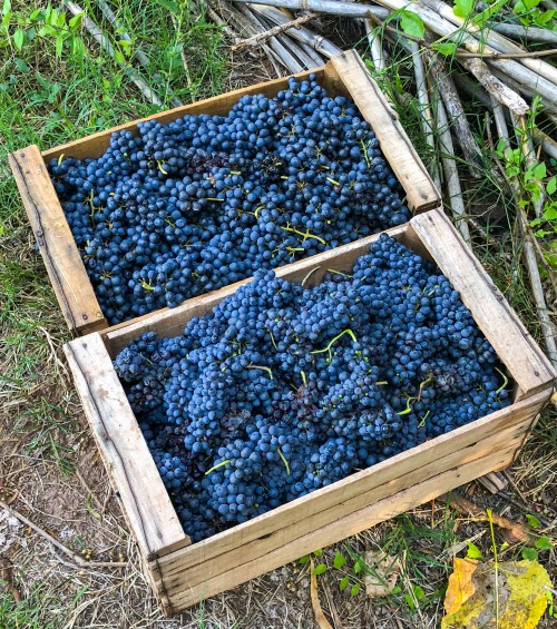 Tannat is known for its thick skins and dark pigment