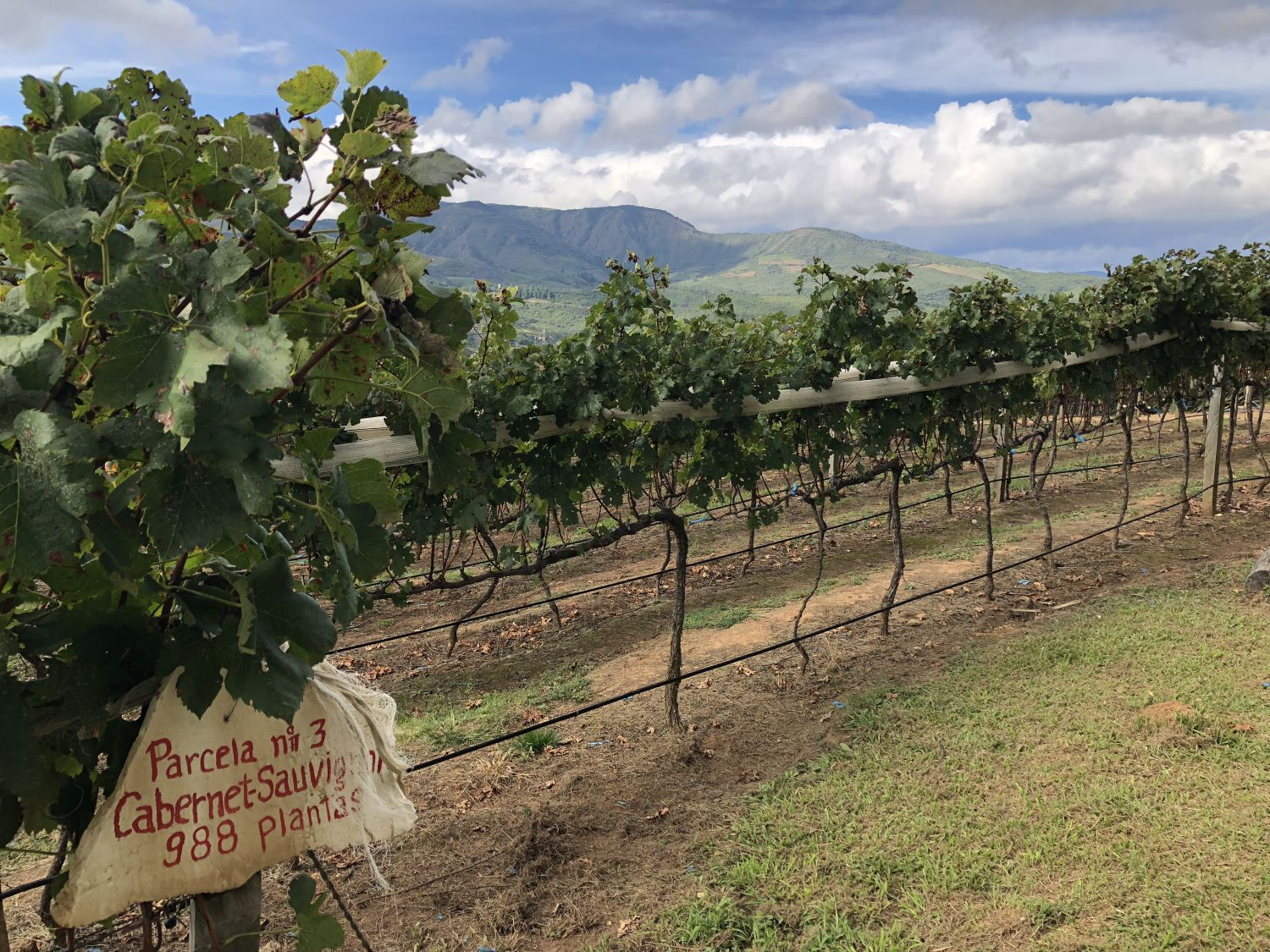 Cabernet Sauvignon is a recent addition to the valleys, but it is very adaptable and its thick skin helps keep it resiliant in the altitude. Photo: Alexandra Whitney. @alexandrawhitney