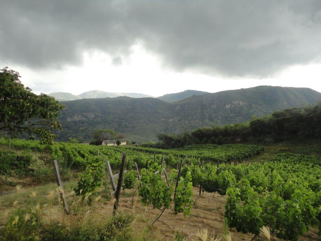 Pedro Giménez grapes growing at 1900 meters (6233 feet) in the Valley of Samaipata. Photo: Francisco Roig