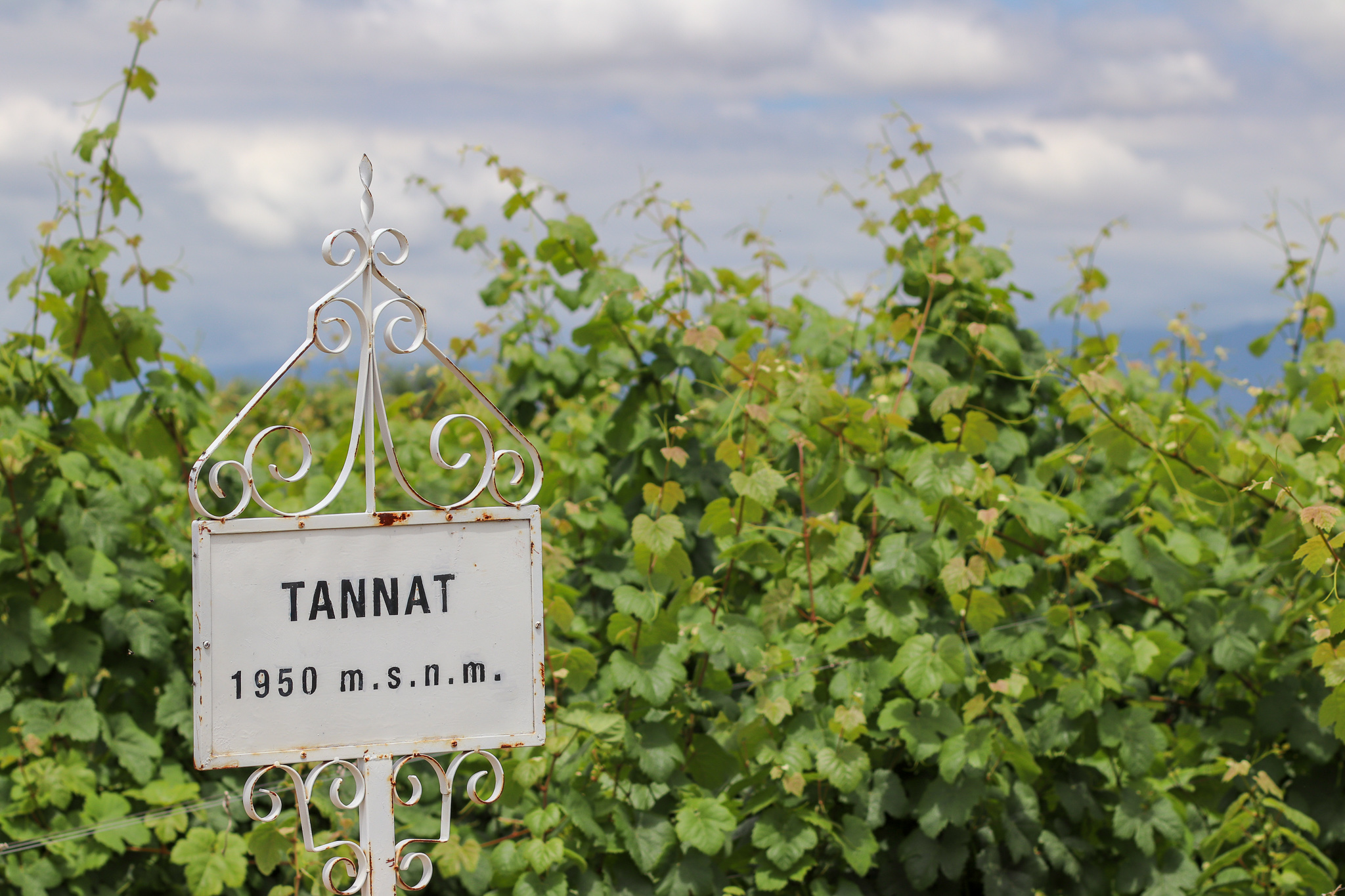 Tannat vines growing in Tarija, Bolivia at an elevation of 1,950 meters (6,397 feet)