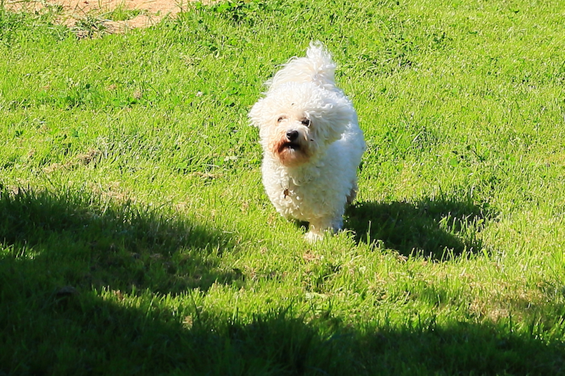 Hundepension -Kennel Roager - pensionshund nyder sommer i lille have.JPG