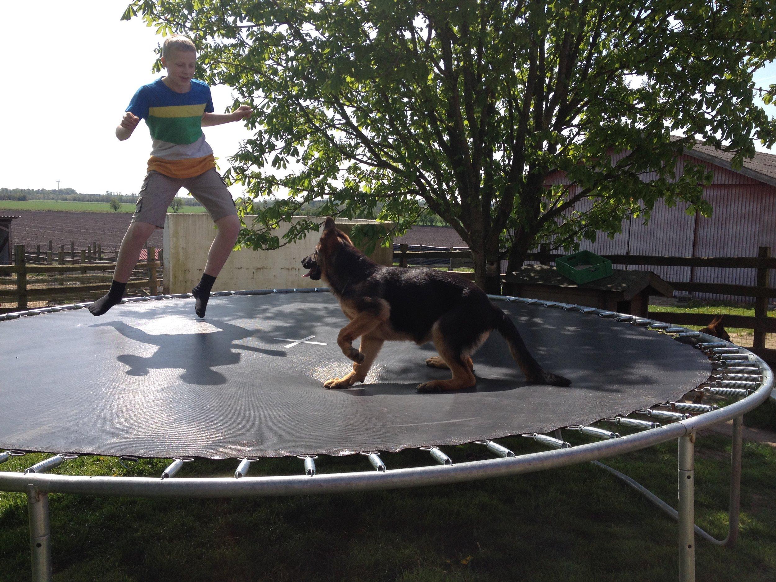 Mikkel og schæferhvalp springer trampolin.JPG