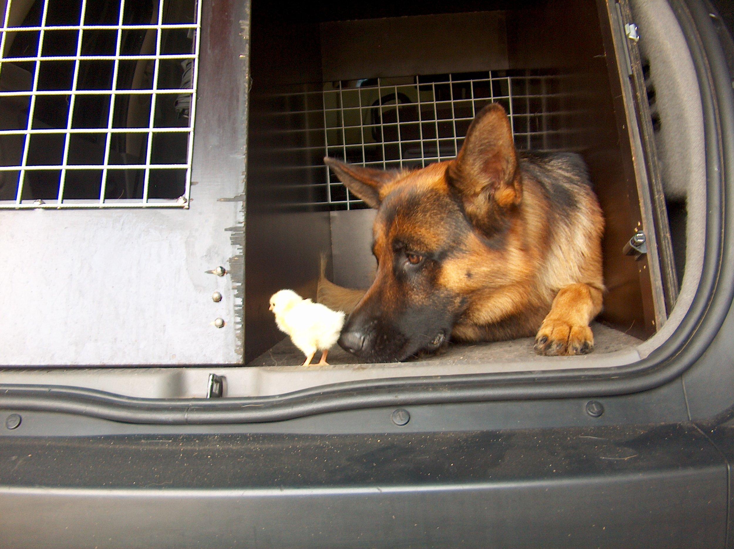 Schæferhan fra Kennel Roager i bil m kylling.jpg