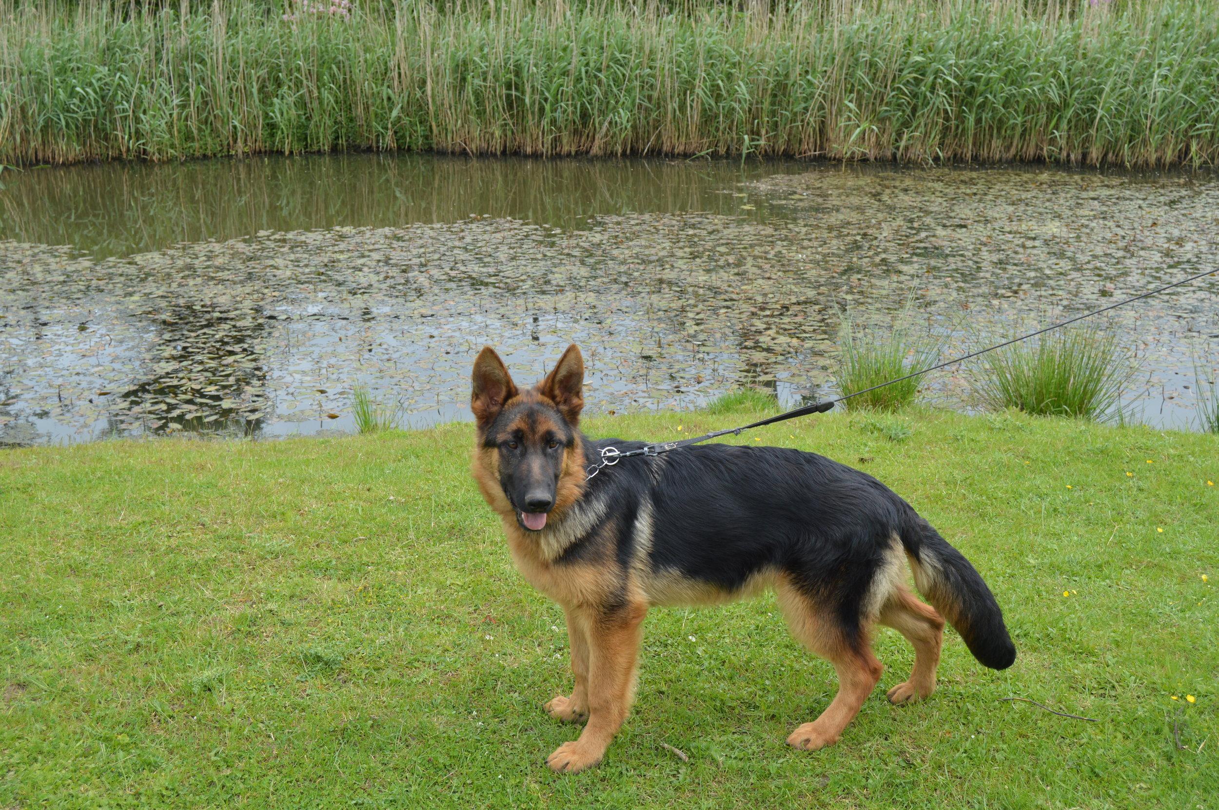 Schæfer unghund stand ved søen.JPG