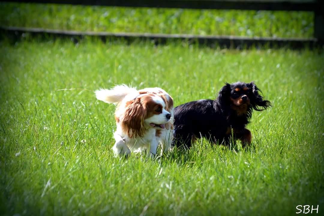 Cavalier king charles spaniels Alberte og Liva 2017-07-11.jpg