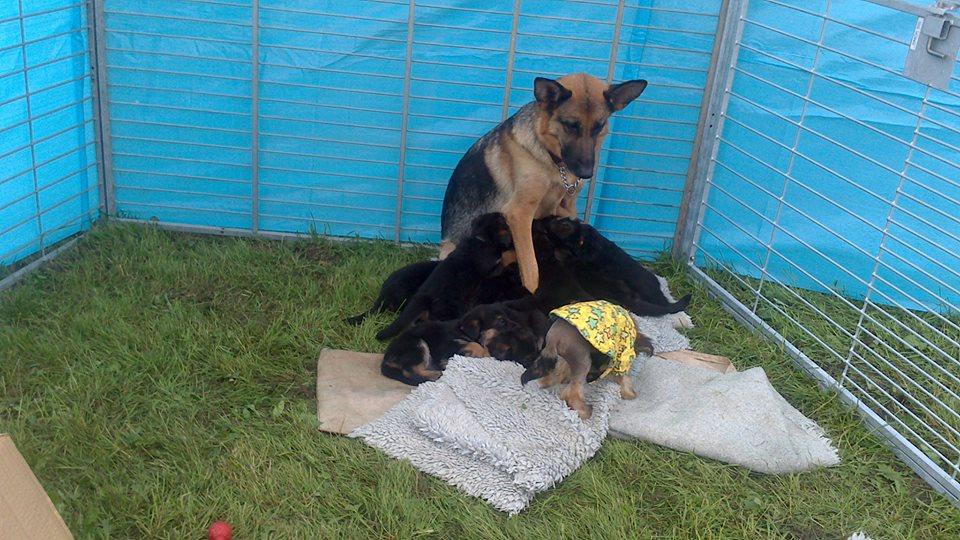 Schæfertæve Roager´s Vukka med schæferhvalpe. Som trækplaster og oppasser for småhunde på Hundens Dag i DcH.