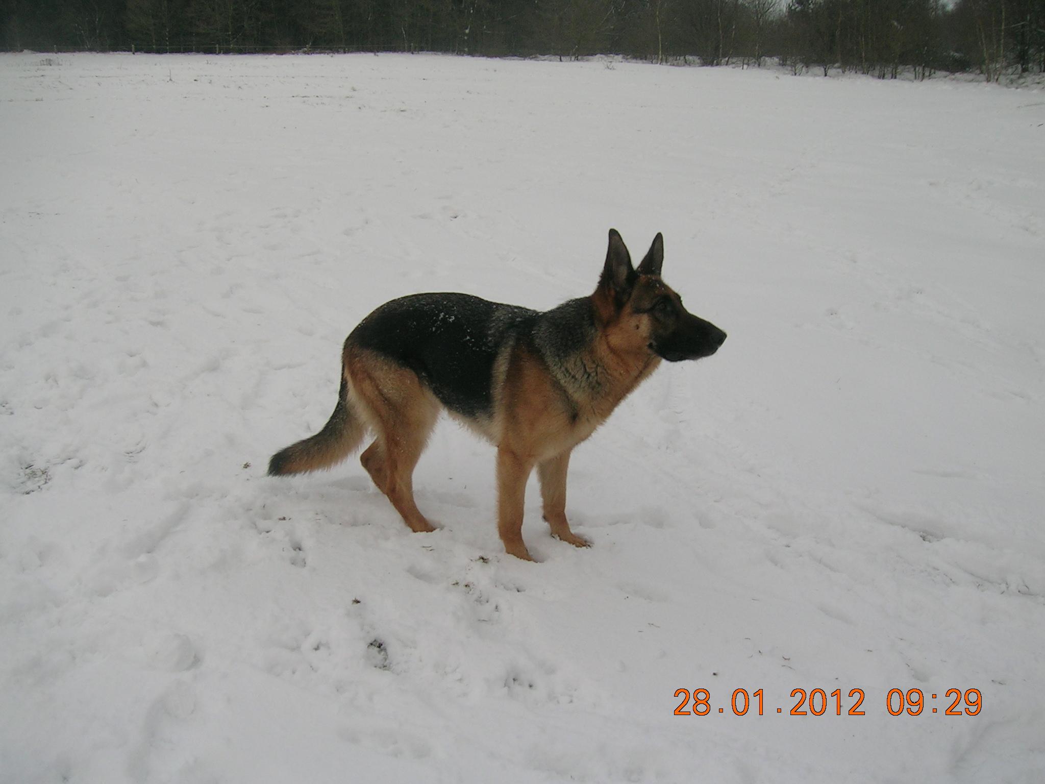 Schæfertæve Roager´s Vukka i sneen.