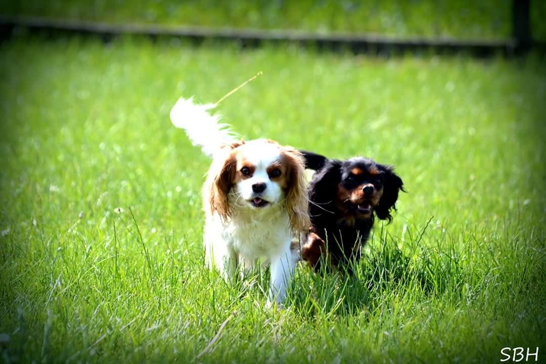 2 cavalier king charles spaniels i løb - Liva og Alberte.jpg