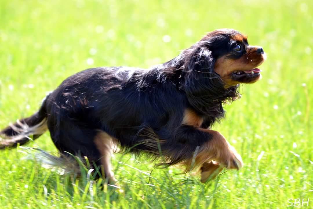 Cavalier king charles spaniel Liva i løb fra siden.jpg