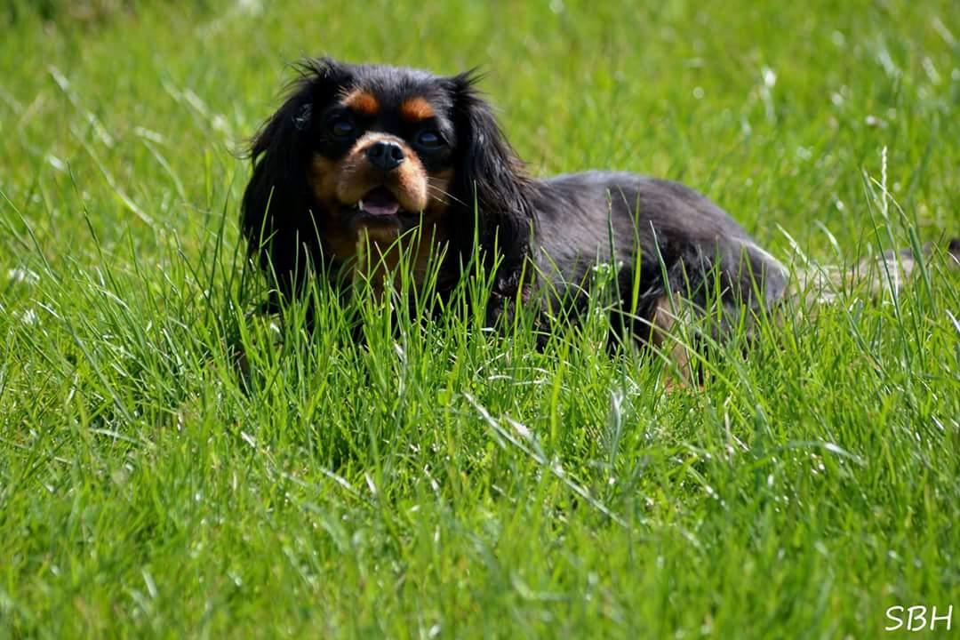 Cavalier king charles spaniel Liva liggende i græs.jpg