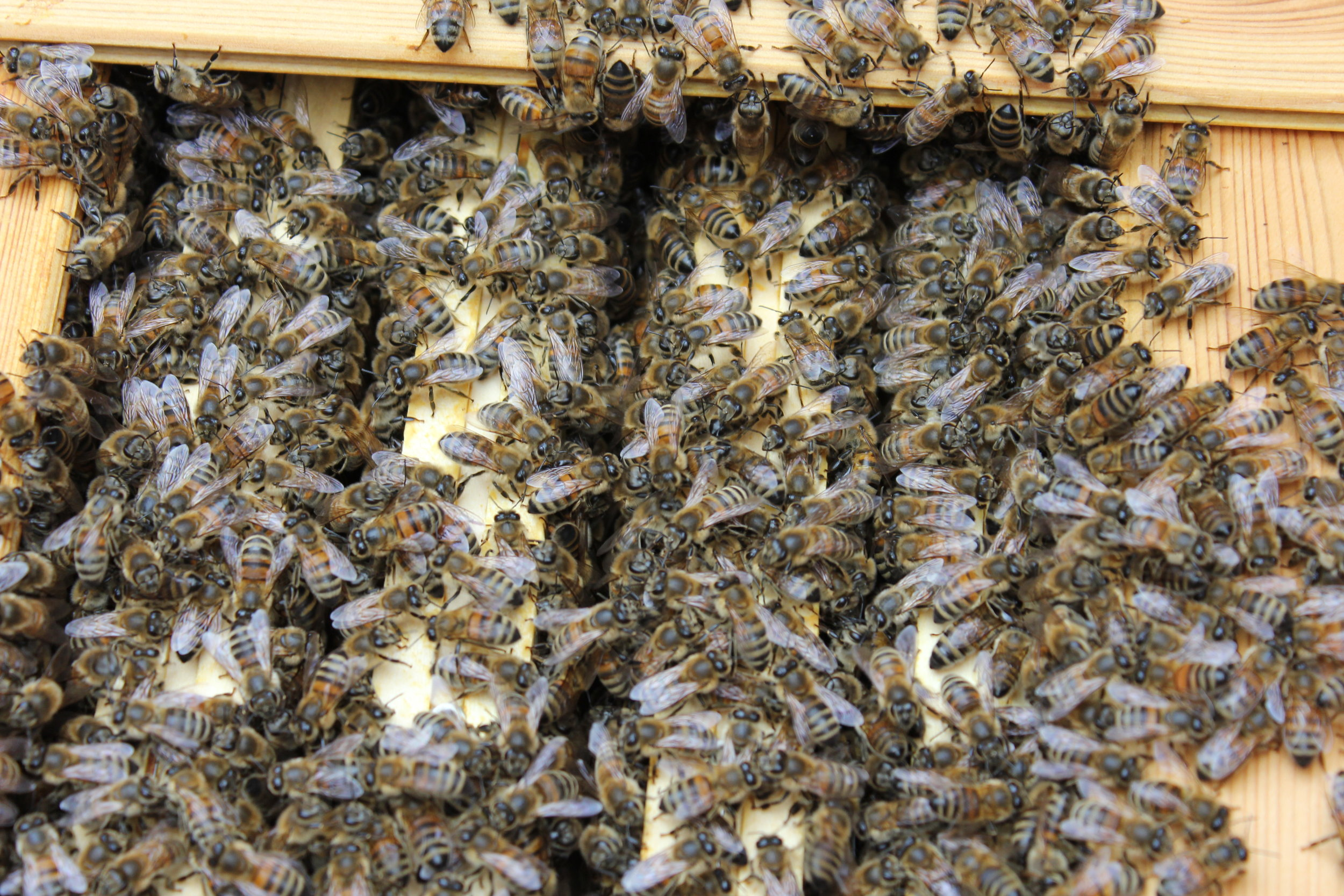 Stor bifamilie klar til honning produktion.
