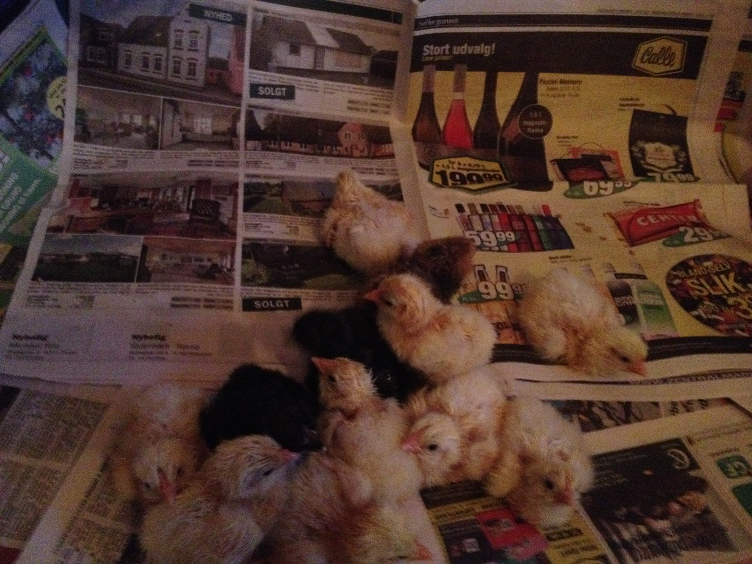 Nyklækkede kyllinger af sussex og sort/kobber maran