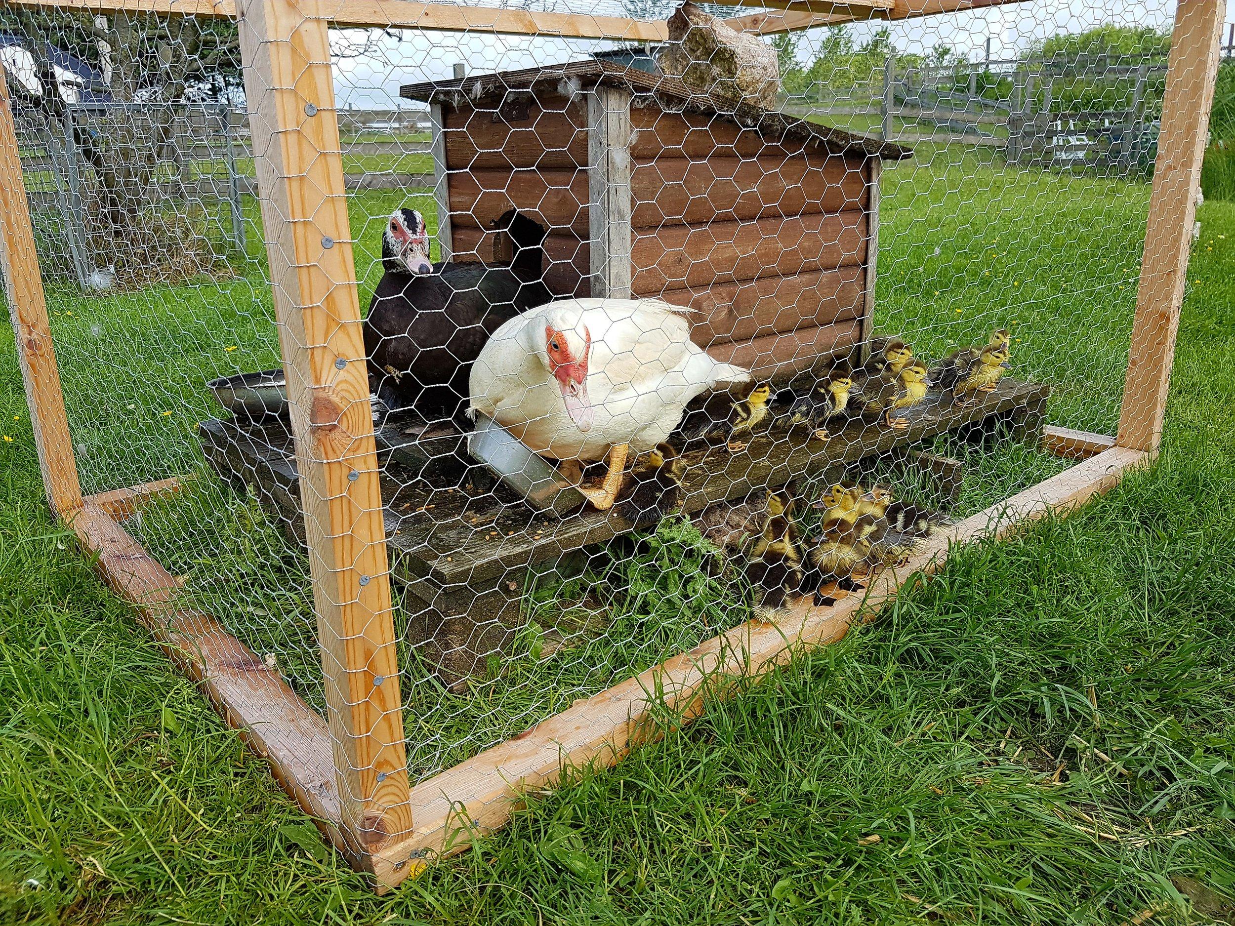 Moskusand med nyklækkede ællinger med beskyttelse mod rovfugle