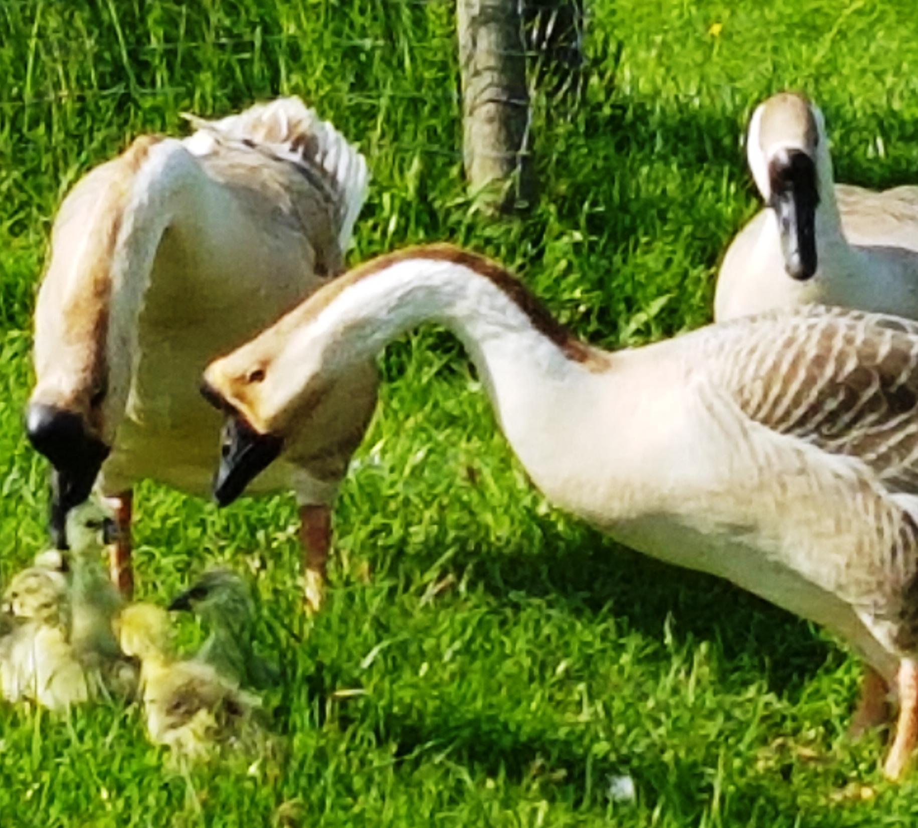 Svanegæs familie