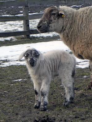 Får med lam født i vintervejr