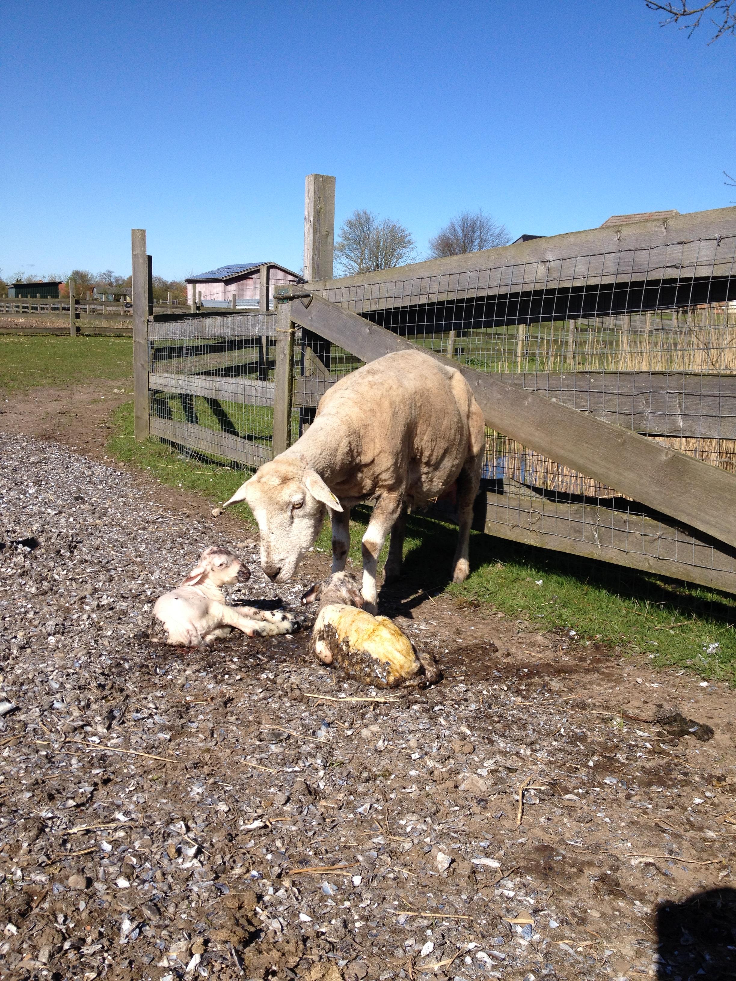 Nyfødte lam på vor mark