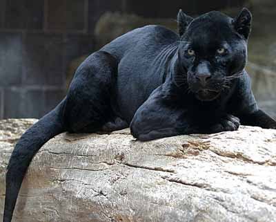Cburnett-black-jaguar-wikipedia-Feb-2012-tiny.jpg