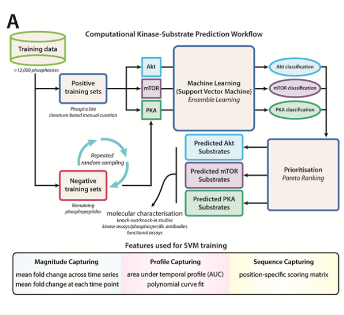 Flowchart depicting the computational prediction of kinase substrates using integrated phosphoproteomics data sets (Humphrey et al., Cell Metab, 2013).