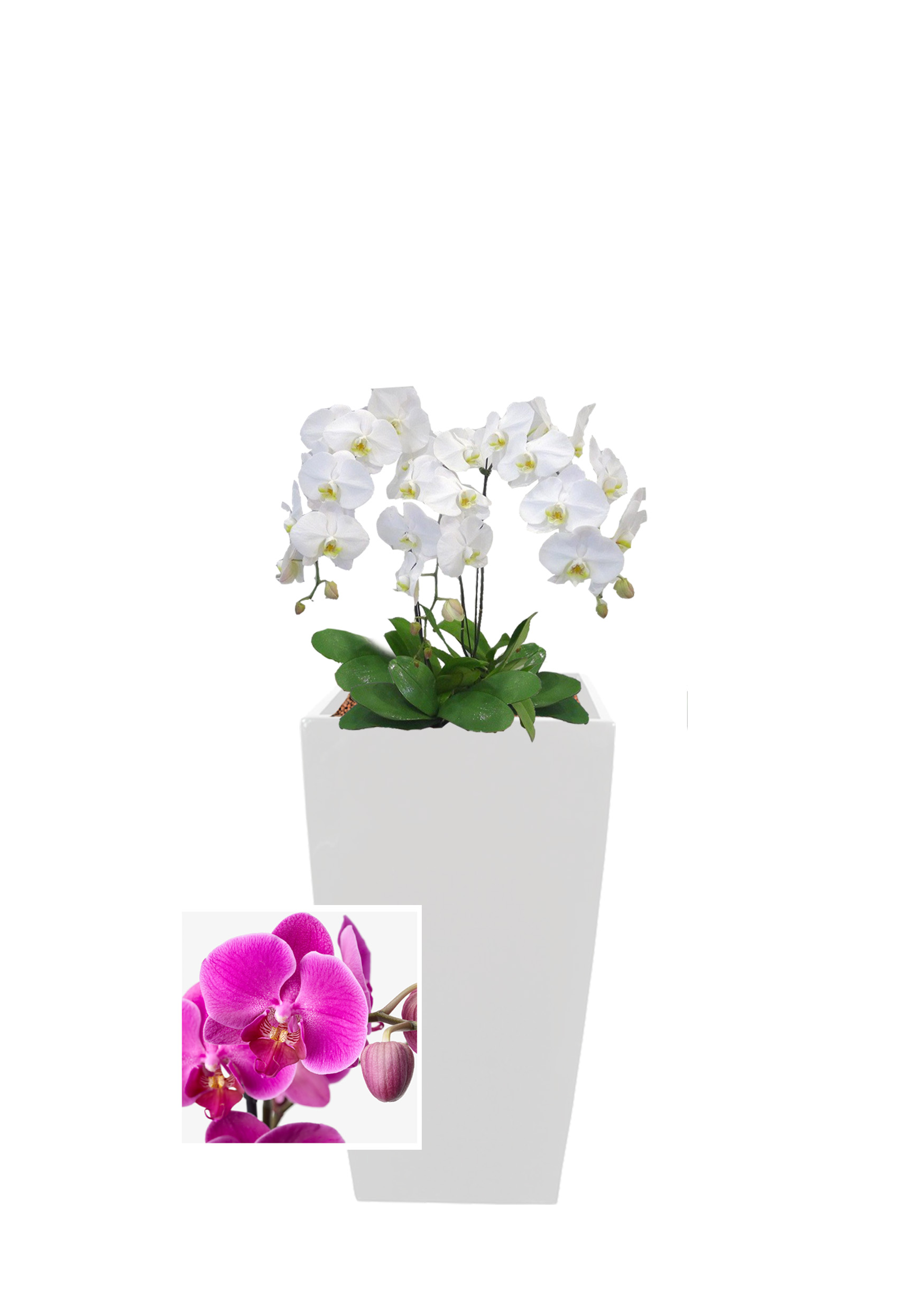 Orchid Series -