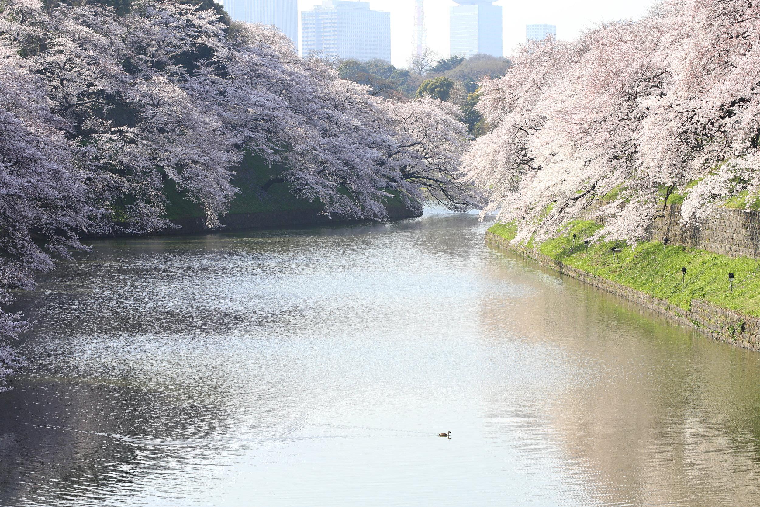 Chidorigafuchi,   Tokyo