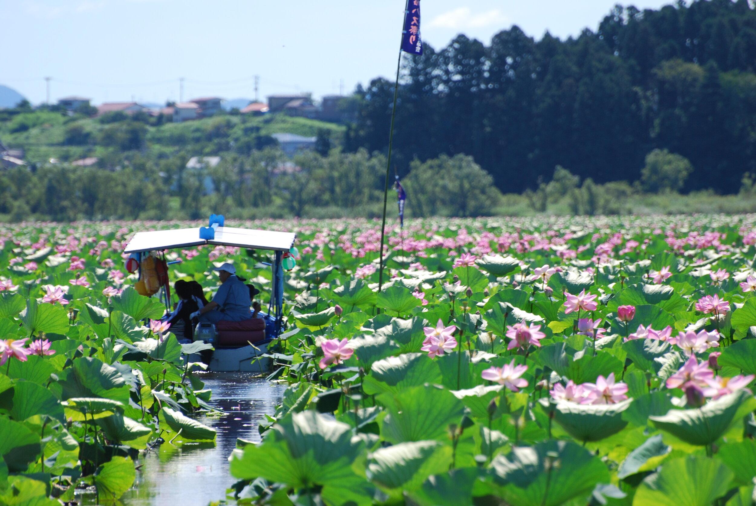 Izunuma-Uchinuma Lotus Festival, Kurihara City, Miyagi