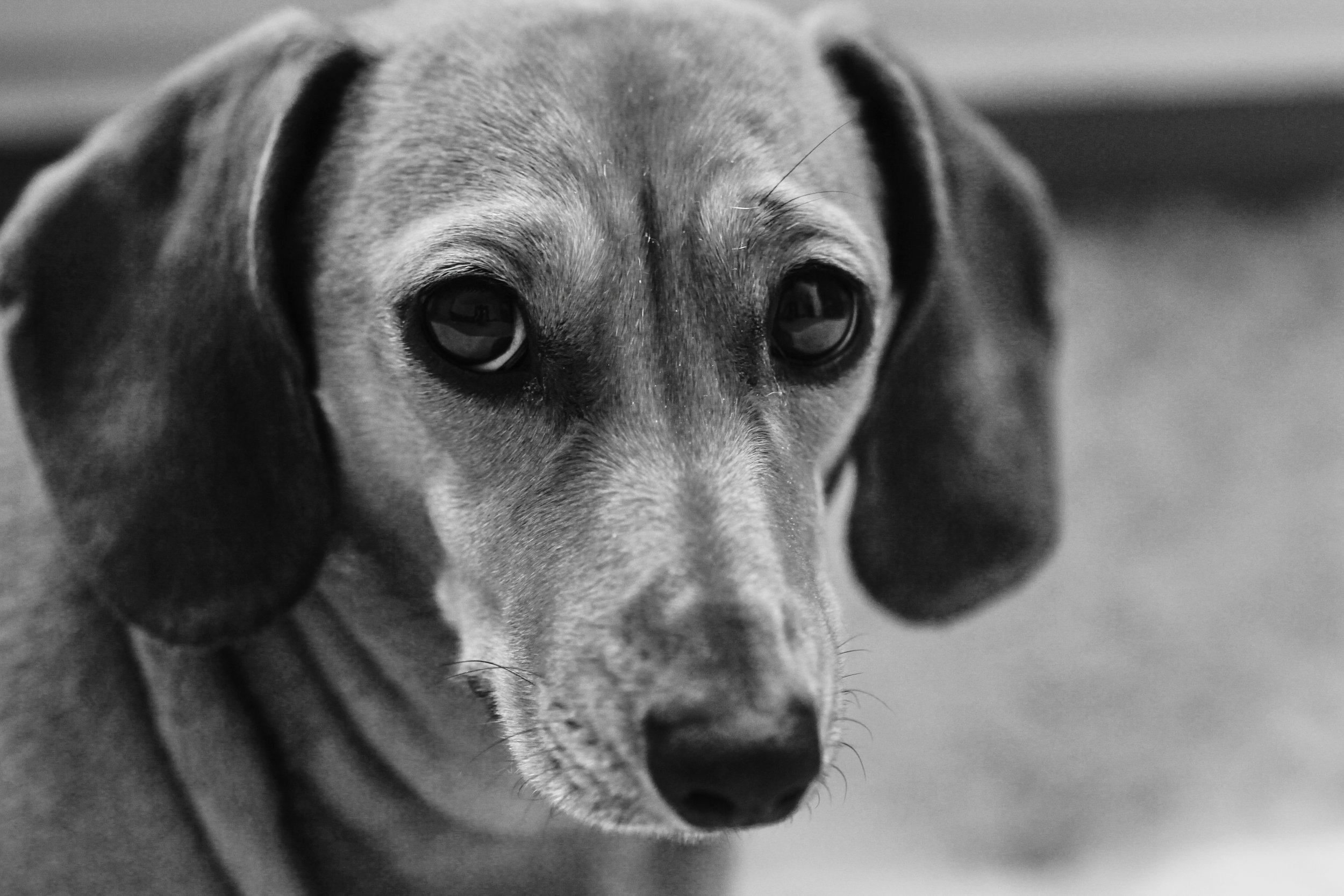 Mouse the Dachshund