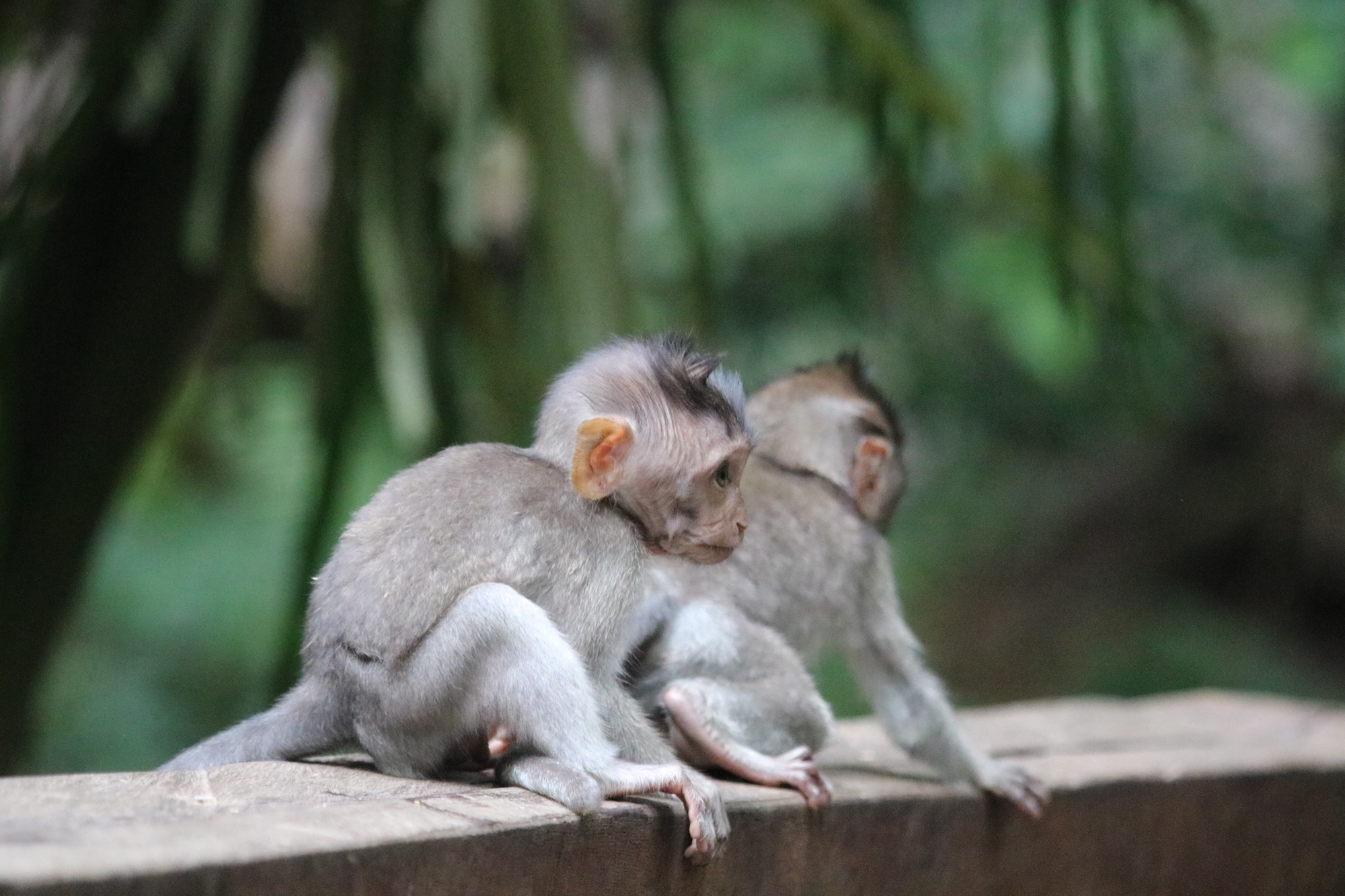 macaques-brothers-5.jpg