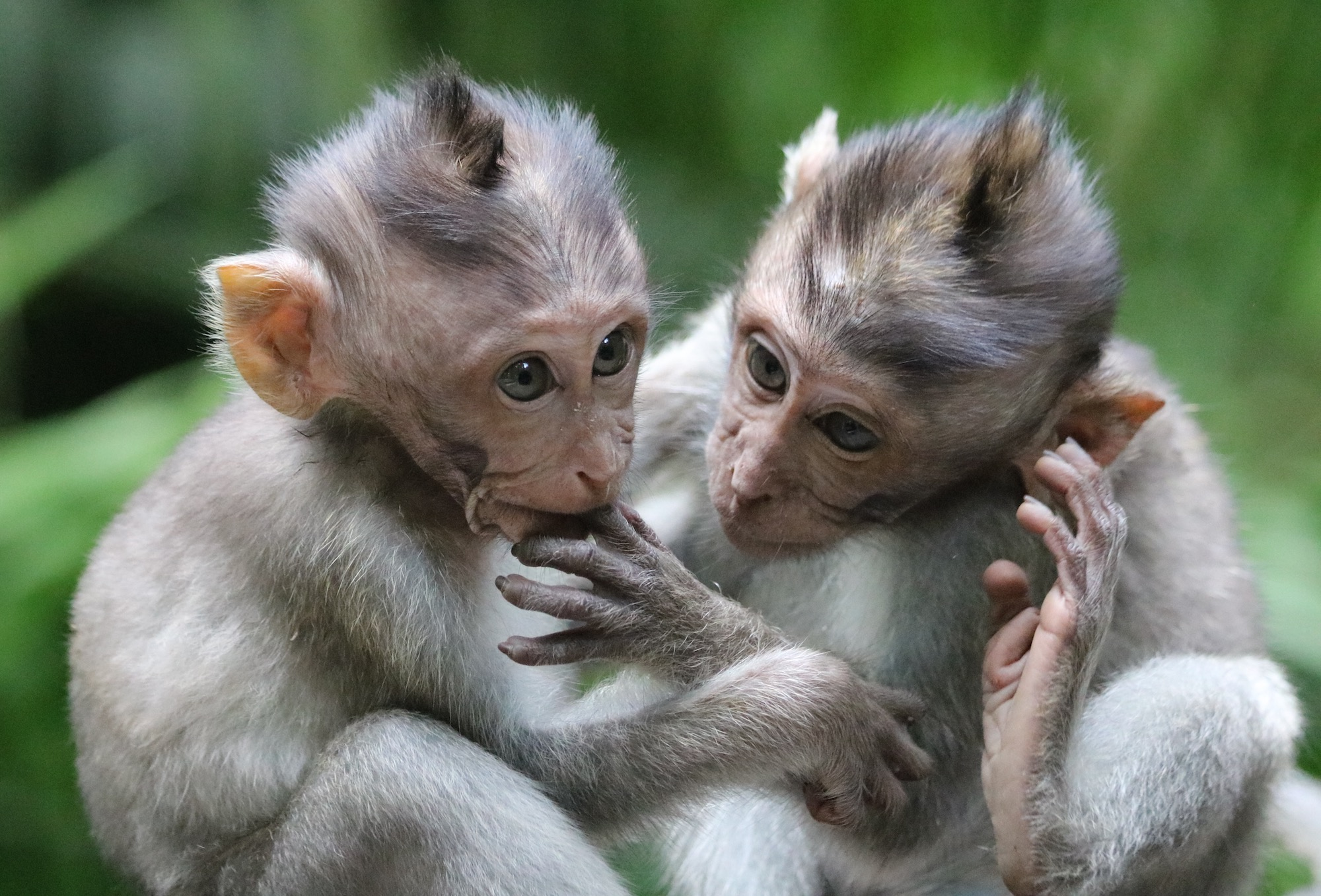 macaques-brothers.jpg