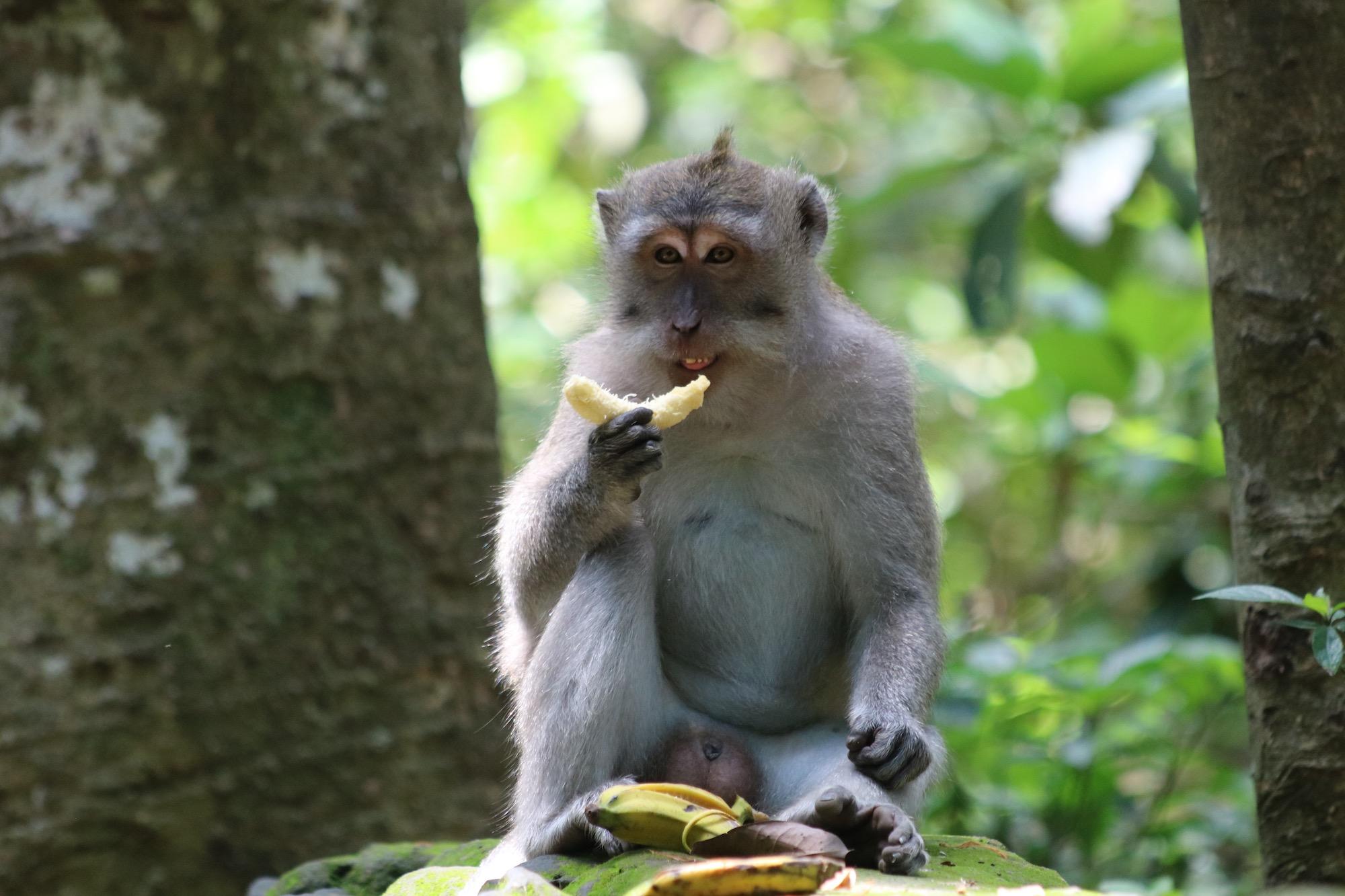 macaque-banana-2.jpg