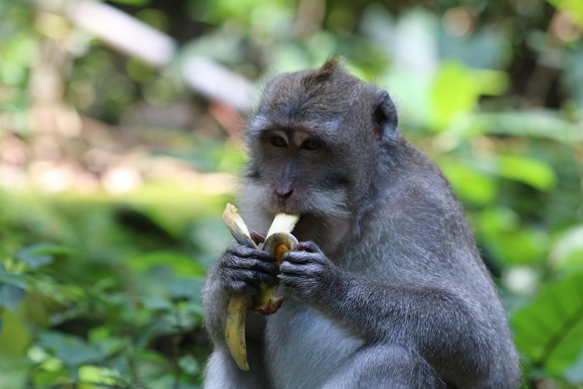 macaque-banana.jpg