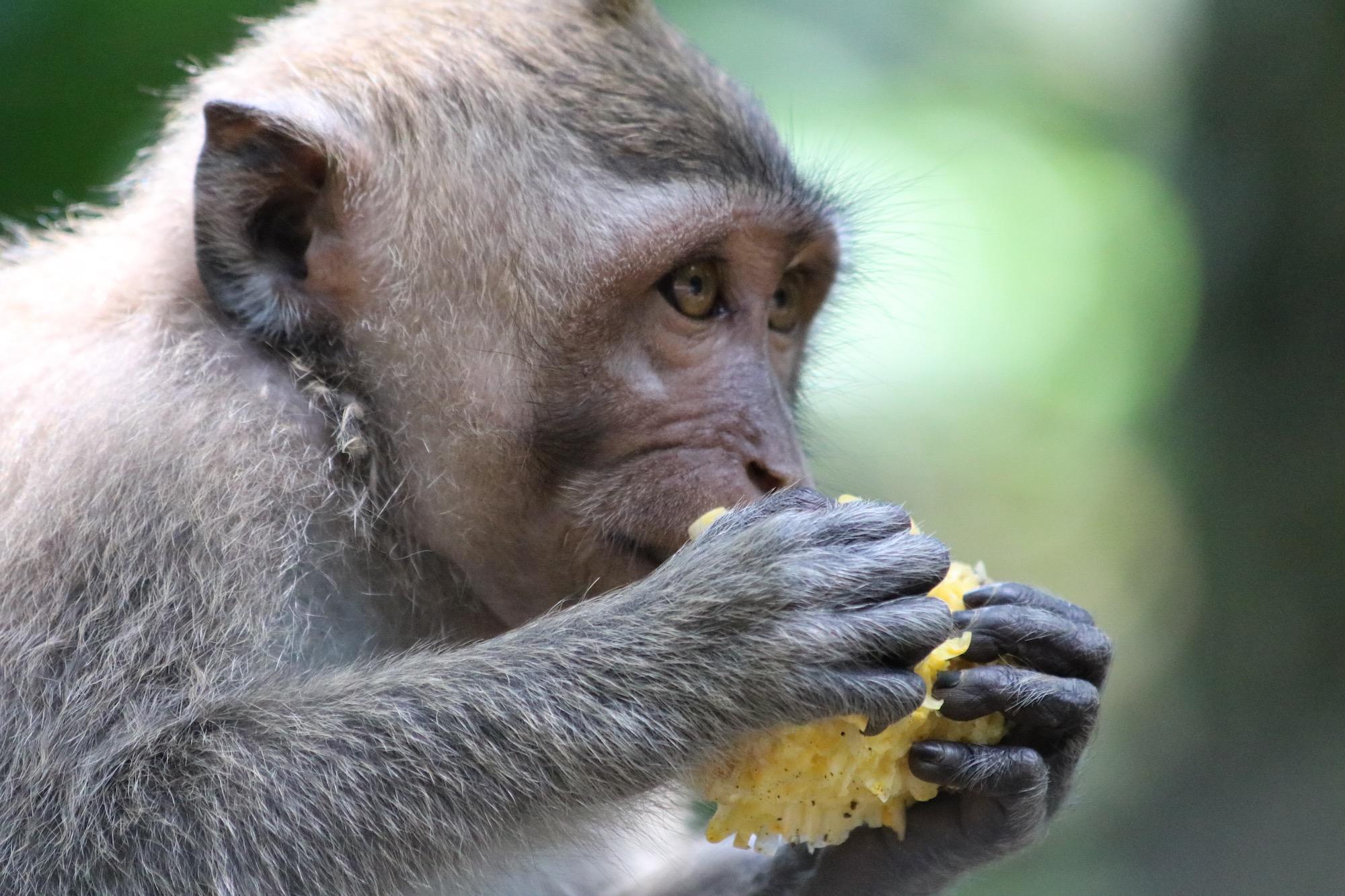 macaque-corn-3.jpg