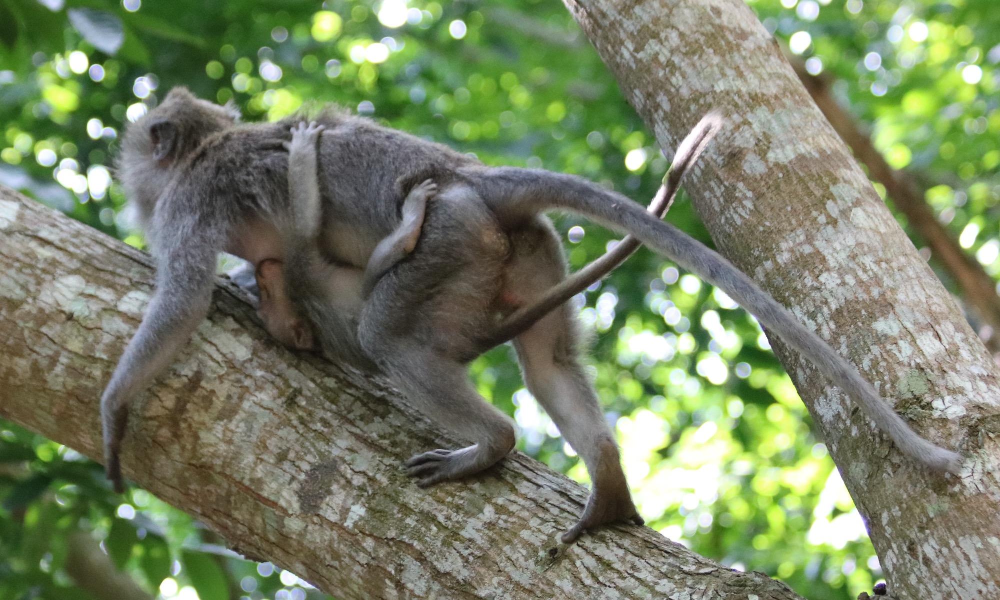macaque-baby-4.jpg