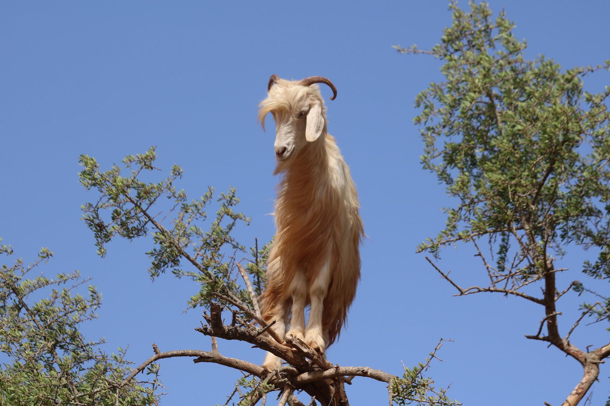 climbing-goat-10.JPG