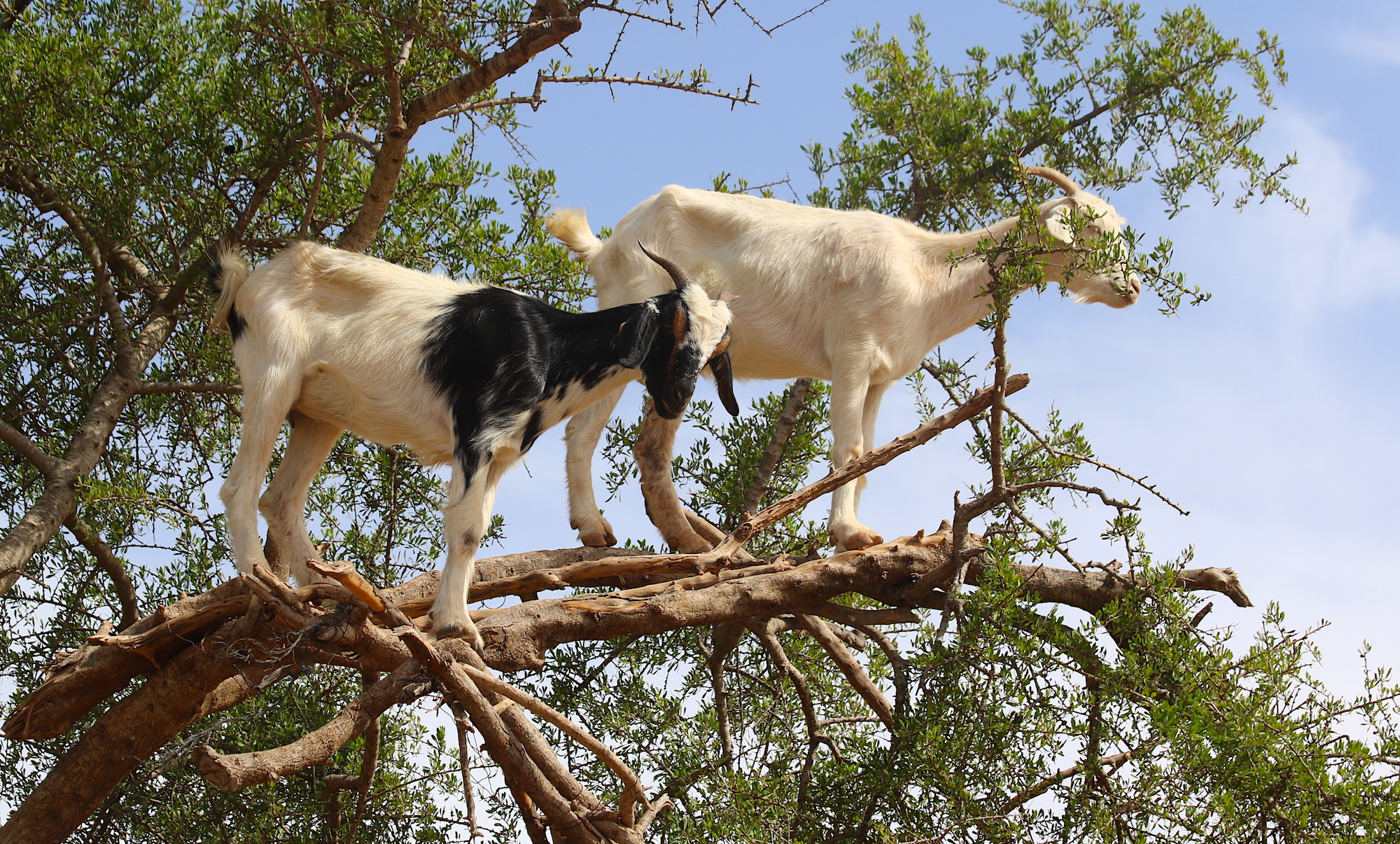 The climbing goats of Morocco