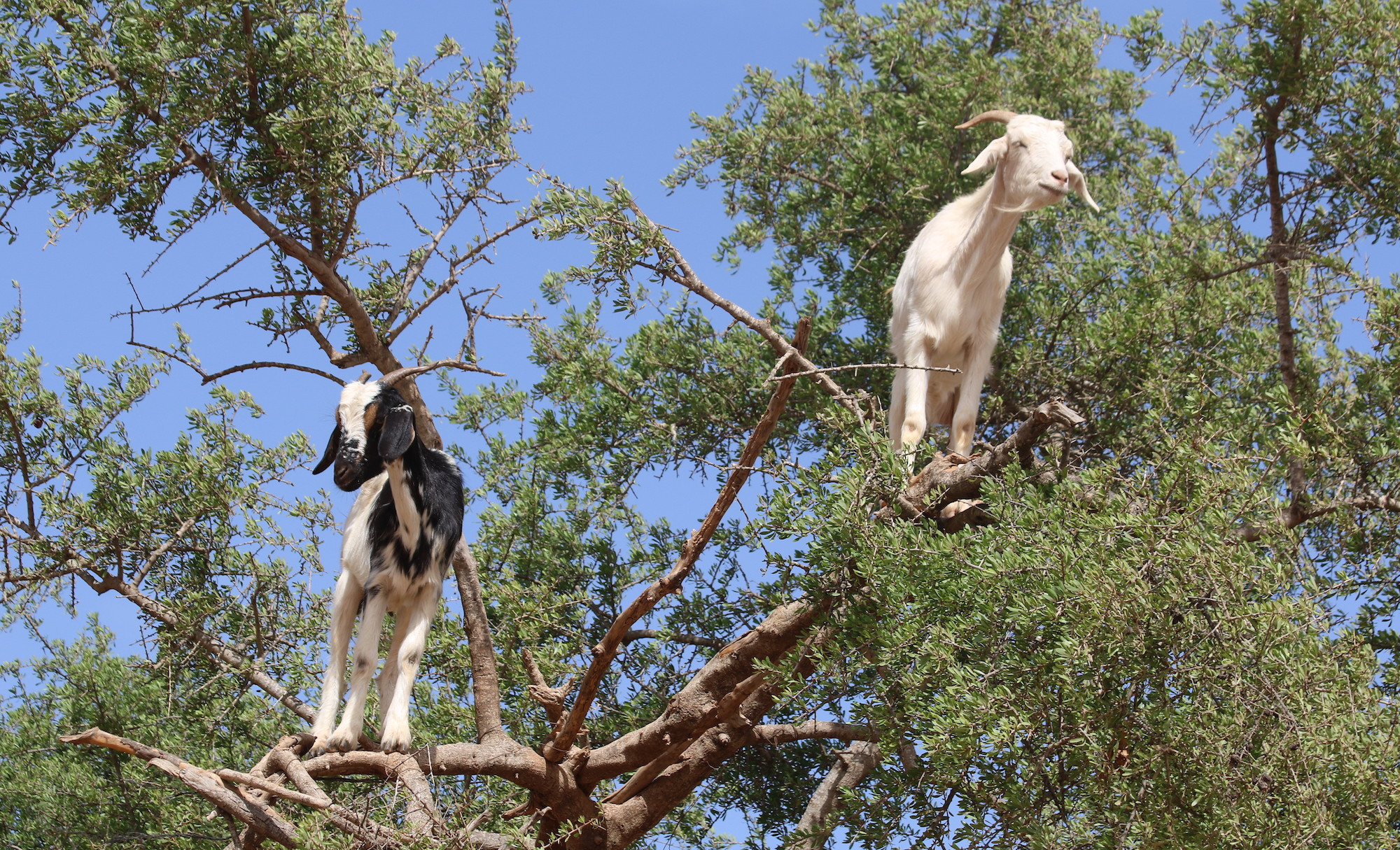 climbing-goats-3.JPG