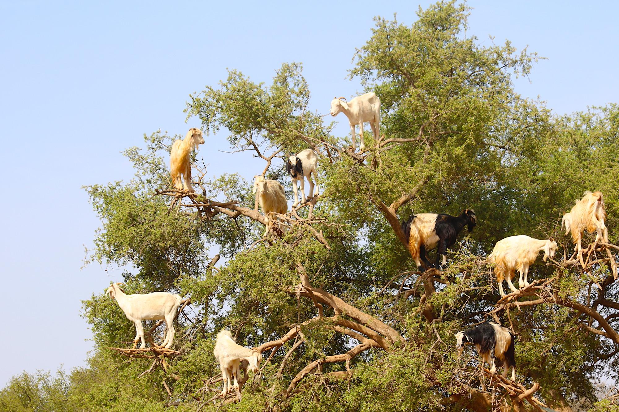 climbing-goats.JPG